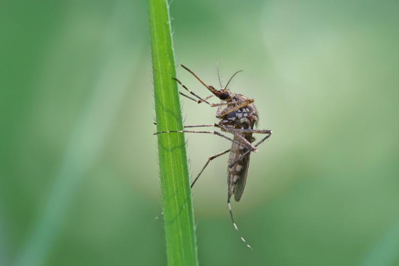 roliny_na_komary_3